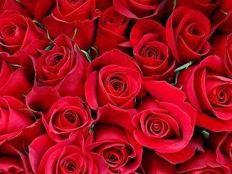 15 Jenis Bunga Valentine dan Makna di Baliknya