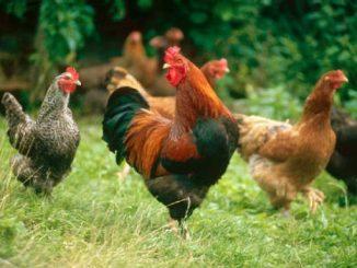 Ayam Indonesia