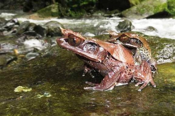 Katak tanduk Kalimantan (Megophrys kalimantanensis)