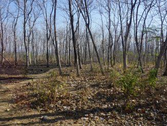 Ranggas pepohonan di Alas Baluran