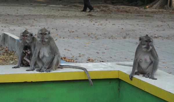 Monyet ekor panjang yang siap menyambut wisatawan memasuki area Pantai Bama. (Arlicia/KalderaNews)
