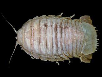 Bathynomus raksasa (Foto: SJADES)