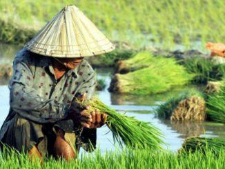 Petani sedang memanen bibit padi siap tanam