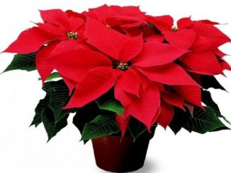 Tanaman Katsuba (Euphorbia pulchorbiaceae), tanaman yang dianggap tanaman resmi Natal. (KalderaNews.com/Ist.)