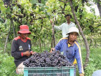 Panen anggur di kebun anggur Komang Sutama di Umanyar, Kecamatan Seririt, Buleleng