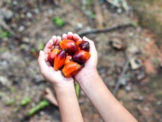 Ilustrasi: Buah kelapa sawit. (KalderaNews.com/Ist.)